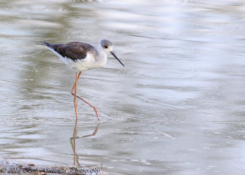 black-winged stilt - Tarangere NP - Tanzania-2