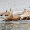 lions at play- Tarangere NP - Tanzania-2