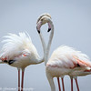 greater flamingos-7
