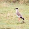 Crowned Plover - Serengeti NP - Tanzania