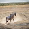 gnu scuffle - Amboseli