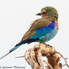 violet breasted roller - Lake Manyara-4