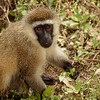 vervet monkey- Lake Nakuru