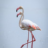 greater flamingos-6