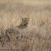 leopard - Serengeti-5