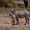 zebra and foal - Lake Naivasha-3