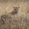 leopard - Serengeti-6