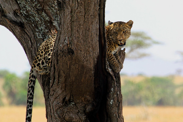 Followed this leopard who was following a herd of wildebeest. She climbed up 3 different trees before finally giving up