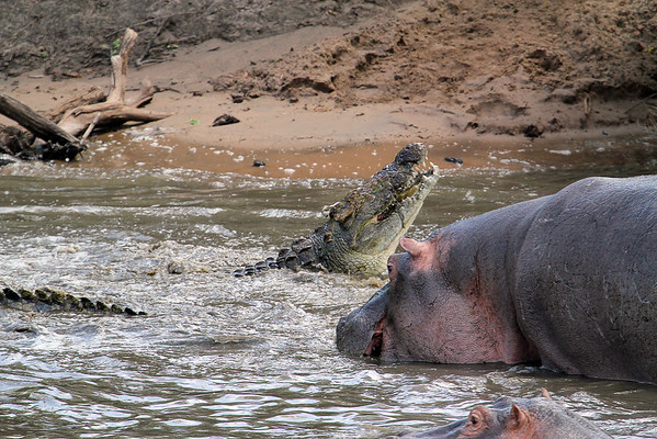 This croc is eating that hippo's baby, which a bull had just killed moments before we arrived.
