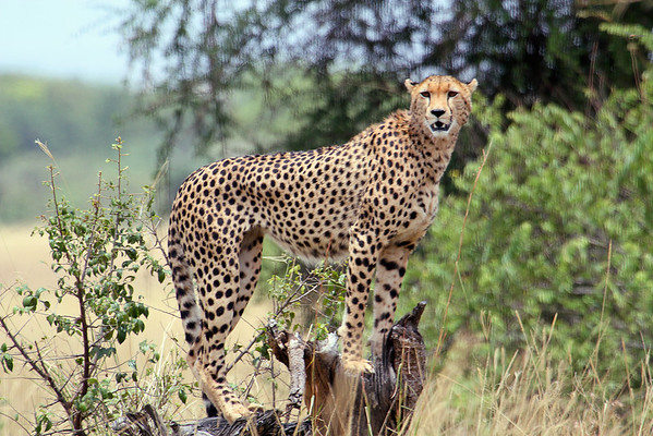 Cheetah keeping an eye out for a meal