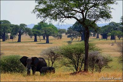 Elephant Paradise w/Baobob trees, Tarangire National Park, Tanzania