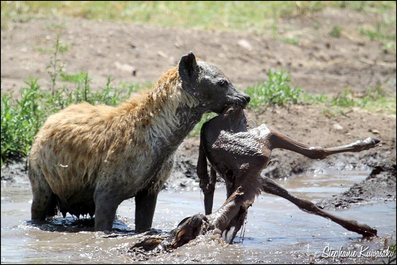 Hyena with kill in Serengeti, Tanzania