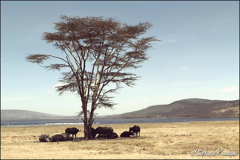 White Rhinos & Cape Buffalo hanging out in the shade in Lake Nakuru, Kenya
