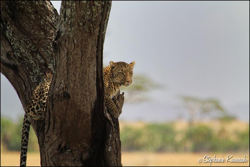 Leopard in Serengeti, Tanzania