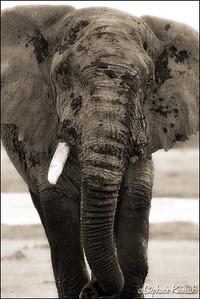 Elephant in Amboseli, Kenya