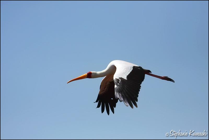 Yellow-Billed Stork flying high in Lake Nakuru, Kenya