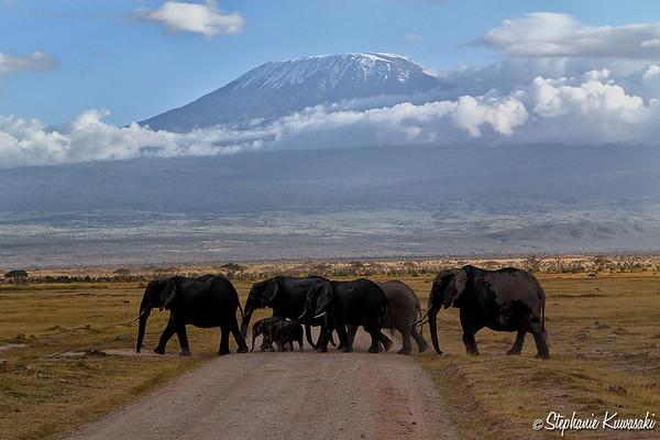 Elephant crossing in front of Mount Kilimanjaro