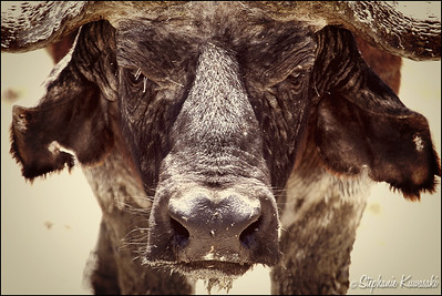 Cape Buffalo after a mud bath in Lake Nakuru, Kenya