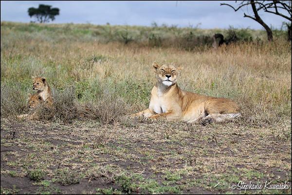 Proud mama & cubs in Ngorongoro Conservation Area, Tanzania
