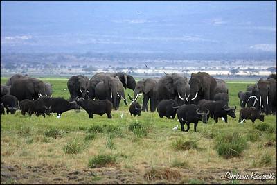 Elephant herd in Amboseli, Kenya