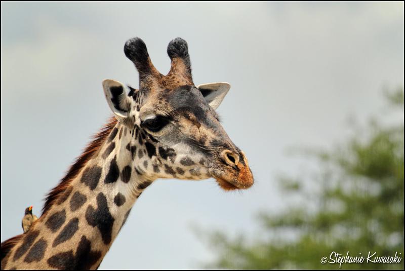 Masai giraffe w/Oxpecker in Serengeti, Tanzania