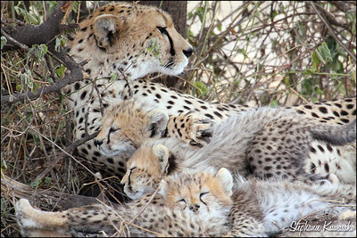 Cheetah mama with four cubs in Ngorongoro Conservation Area, Tanzania