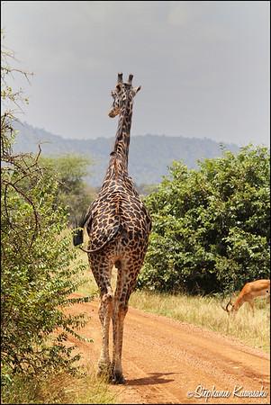 Masai giraffe in Serengeti, Tanzania