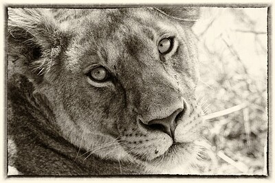Lioness in Serengeti, Tanzania