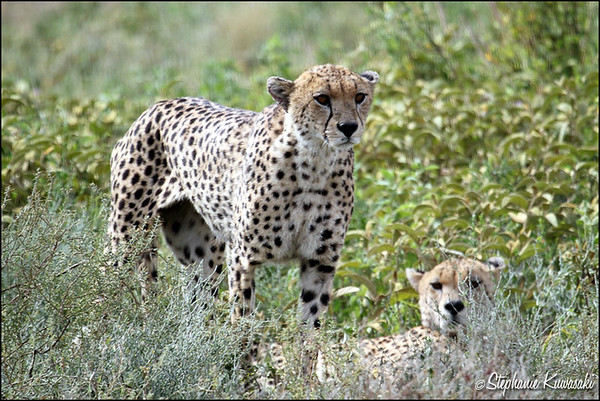 Cheetah brothers in Ngorongoro Conservation Area, Tanzania