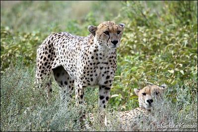 Cheetah brothers in Ngorongoro Conservation Area, Tanzania