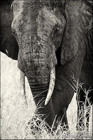 Elephant-B&W