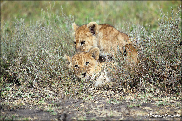 Lion cubs in Ngorongoro Conservation Area, Tanzania
