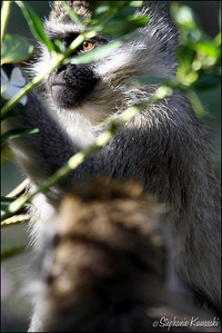 Vervet Monkey in Lake Naivasha, Kenya