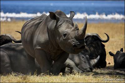 White Rhinos in Lake Nakuru, Kenya