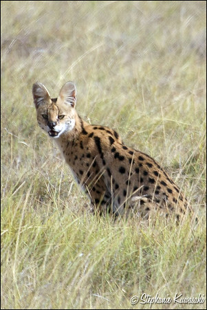 Serval Cat in Amboseli, Kenya