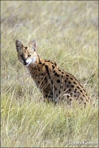 Serval Cat in Amboseli, Kenya
