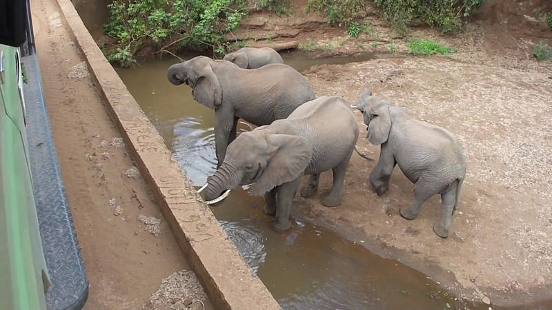 Elephants drinking under a bridge in Lake Manyara