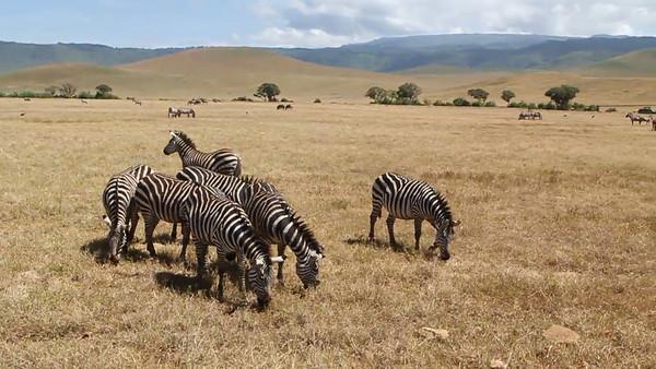 Ngorongoro Crater scenery with zebras all around