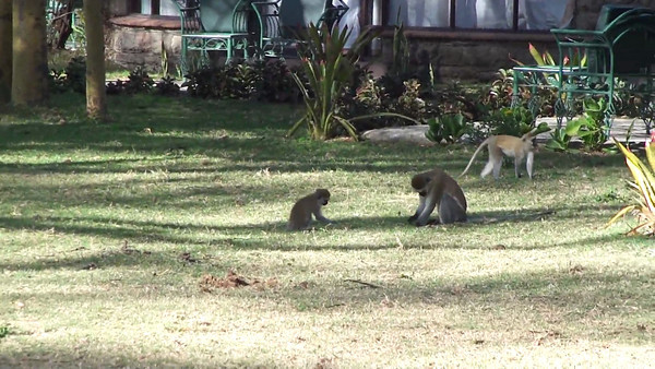 Vervet monkeys breaking into the lodge next to us & monkey business ensues