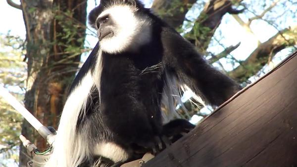 Colobus monkeys at the main lodge