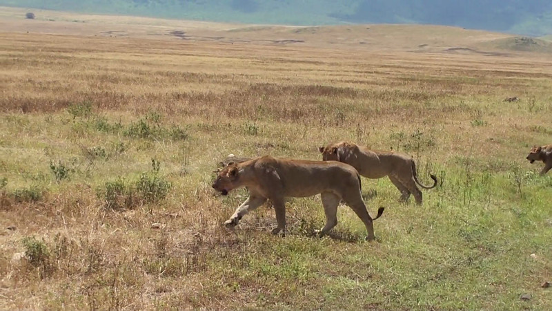 Large pride of lions maneuvering their way around the vehicles in the Ngorongoro Crater