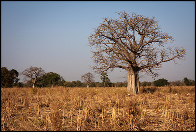 Baobab, Bintang Bolong