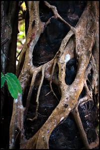 Strangler, Abuko Nature Reserve