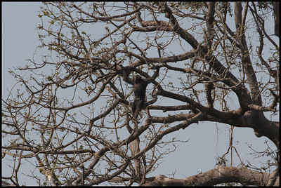 Chimpanzee, Gambia River National Park