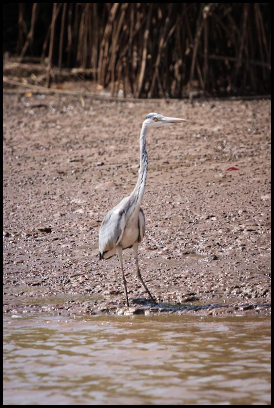 Heron, Gambia River