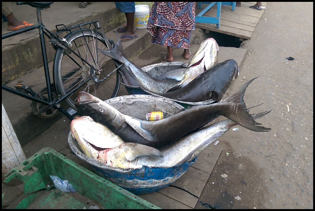 Catches in Elmina