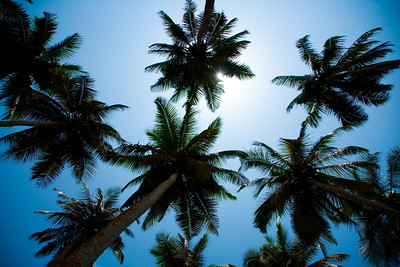 BRENU AKYINIM, GHANA - OCTOBER, 2006: Palm trees against a blue sky. The fishing village of Brenu-Akyinim is located 10 km west of Elmina and features a long palmfringed sandy beach often packed with fishermen and their boats.  ( Photo by: Christopher Herwig)