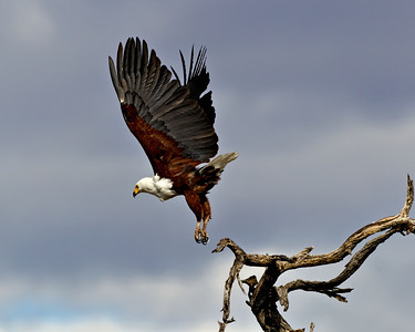 African fish eagle takes off