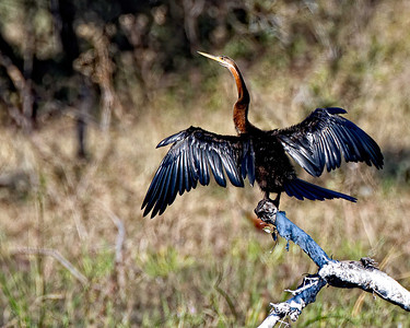 An African Darter drying its wings in the sun