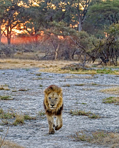 The lion walking toward us in the early morning light as the sun reflects off ground fog in the background.